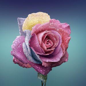 rose, flower, love